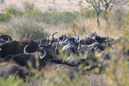 Mpumalanga Buffalo herd in the Kruger