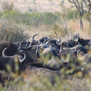 Buffalo herd in the Kruger