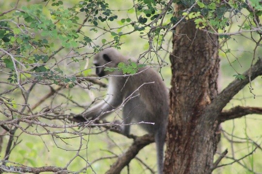 Kruger National Park Vervet monkey
