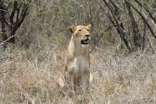 Kruger National Mpumalanga Lion in the Wild