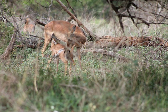 Mpumalanga Mother and Baby Impala