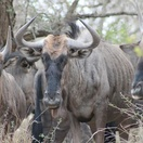 Kruger National Park Blue Wildebeest